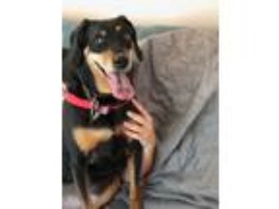 Adopt Kita a Black - with Tan, Yellow or Fawn Hound (Unknown Type) / Mixed dog