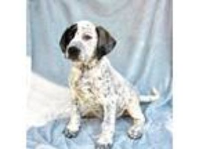 Adopt Dean Lonestar a White - with Black German Shorthaired Pointer / Border