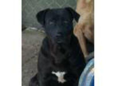 Adopt Webster a Black Labrador Retriever