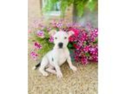 Adopt Peter a White - with Black Boxer / Pit Bull Terrier / Mixed dog in
