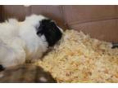Adopt SANDY a White Guinea Pig / Mixed small animal in Waterford, VA (25930248)