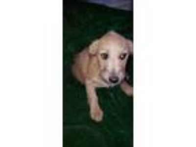 Adopt Carl a Tan/Yellow/Fawn - with White Cairn Terrier / Dachshund / Mixed dog
