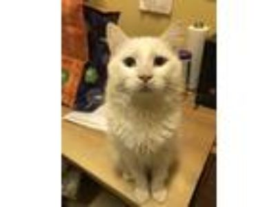 Adopt Poppy a White Domestic Mediumhair / Mixed (medium coat) cat in Blasdell