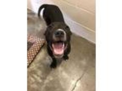 Adopt Diamond-Dog a Labrador Retriever / Pit Bull Terrier / Mixed dog in