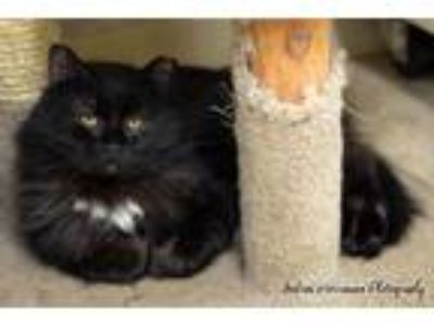 Adopt Sebastian a Domestic Long Hair