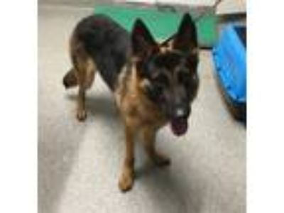 Adopt Charlie a German Shepherd Dog, Belgian Shepherd / Malinois