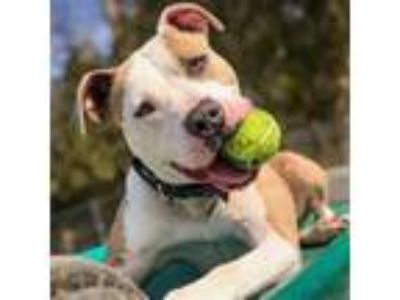Adopt Neal a Pit Bull Terrier