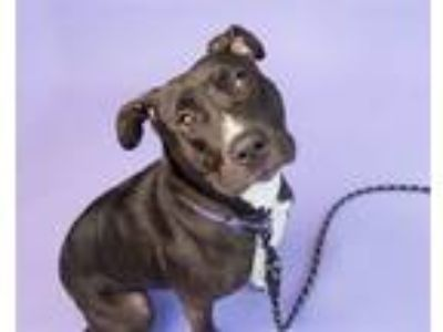 Adopt Harley a American Pit Bull Terrier / Mixed dog in Pittsburgh