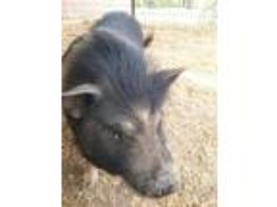 Adopt Princess Porker a Pig (Potbellied) / Mixed farm-type animal in Madera