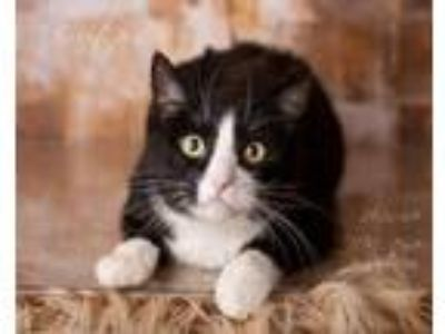 Adopt Brutus Bonded to Kitty a Domestic Short Hair