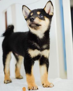 Shiba Inu PUPPY FOR SALE ADN-101307 - Gorgeous Black Shiba Inu Ricky  LA SF NY CHI SEA