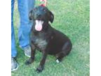 Adopt Baby a Black Labrador Retriever / Border Collie / Mixed dog in Olympia