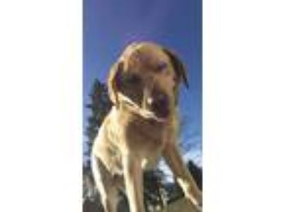 Adopt Charlie a Tan/Yellow/Fawn - with White Labrador Retriever dog in Fishkill
