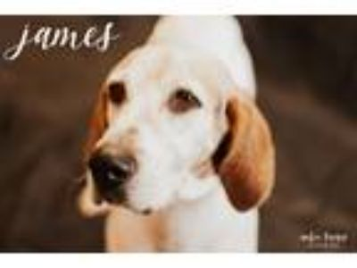Adopt James a White - with Brown or Chocolate Hound (Unknown Type) / Mixed dog