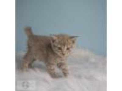 Adopt Brianna a Domestic Short Hair