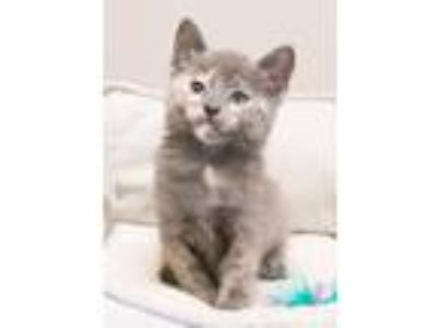 Adopt Astrid a Dilute Tortoiseshell, Domestic Short Hair