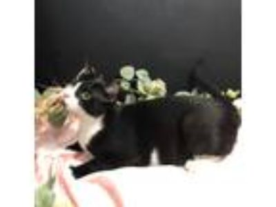 Adopt ADOPTION-Read First a Domestic Mediumhair / Mixed cat in Fayetteville