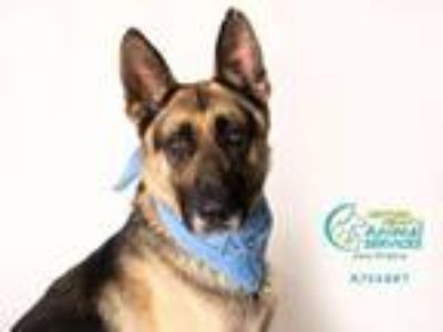 Adopt JOHNSON a German Shepherd Dog
