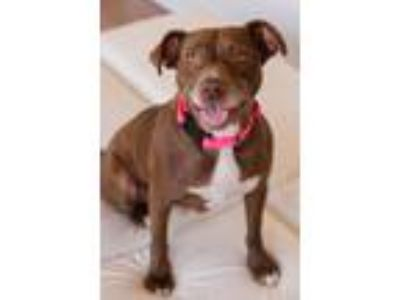Adopt Snuggles D190143 a Pit Bull Terrier