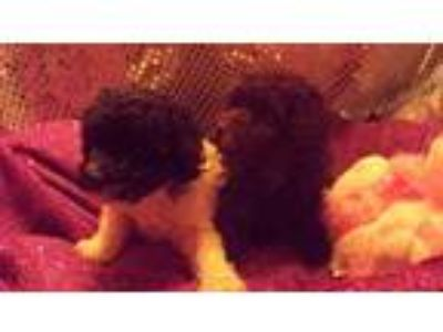 Beautiful Toy Poodles. 2 baby girls. All sold, more coming