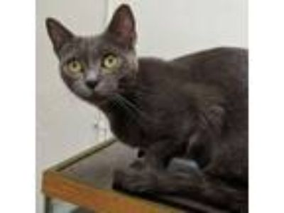Adopt Suzette a Russian Blue