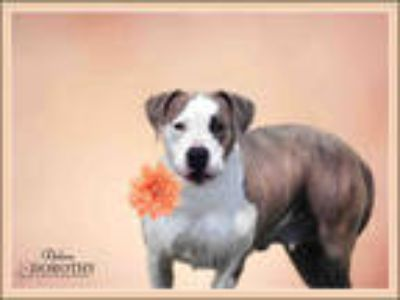 Adopt OLIVE a Tan/Yellow/Fawn - with White American Pit Bull Terrier / Mixed dog