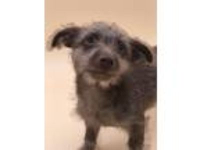 Adopt Hansel a Terrier (Unknown Type, Small) / Mixed dog in Thousand Oaks