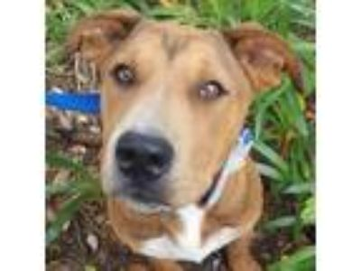 Adopt Anna a Brown/Chocolate - with White Shepherd (Unknown Type) / Cattle Dog /