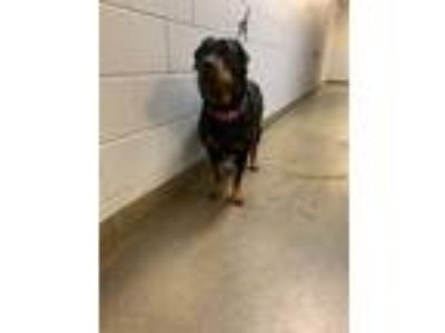 Adopt LOLA a Black - with Tan, Yellow or Fawn Rottweiler / Mixed dog in