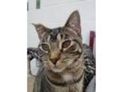 Adopt Harvey Milk a Domestic Short Hair