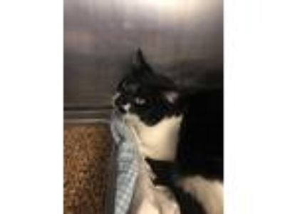Adopt Jitter a Black & White or Tuxedo Domestic Shorthair (short coat) cat in