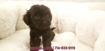 Poodle (Standard)-Maltese Mix PUPPY FOR SALE ADN-74882 - Maltipoo Male Kerwin