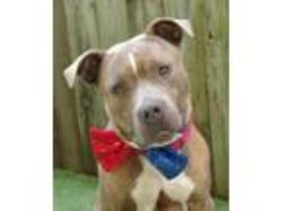 Adopt 41675704 - Available 5/17 a Terrier, Pit Bull Terrier