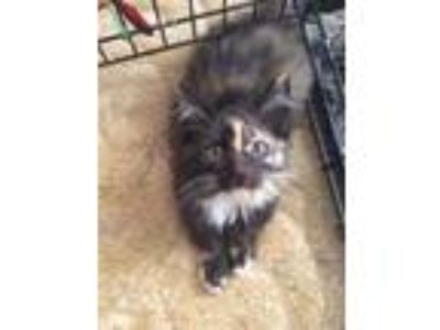 Adopt Fluffy a Spotted Tabby/Leopard Spotted American Bobtail cat in Calimesa