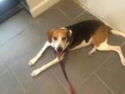 Adopt Ellie a White - with Brown or Chocolate Treeing Walker Coonhound / Mixed