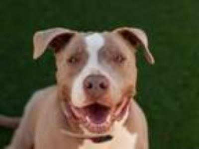 Adopt NICKO a Pit Bull Terrier