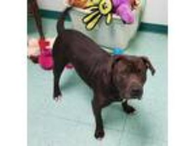Adopt *MARCUS a Black - with White American Pit Bull Terrier / Mixed dog in