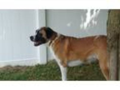 Adopt Jenny a Tricolor (Tan/Brown & Black & White) St. Bernard / Mixed dog in