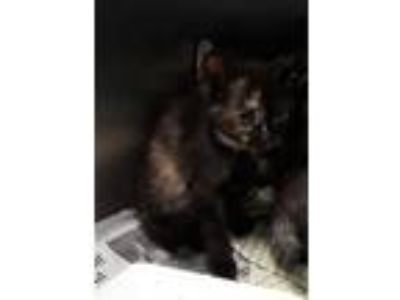 Adopt SUZANNE a Tortoiseshell Domestic Shorthair / Mixed (short coat) cat in
