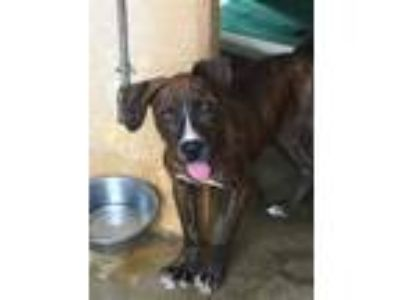 Adopt Keone a Brown/Chocolate American Pit Bull Terrier / Mixed dog in Lihue