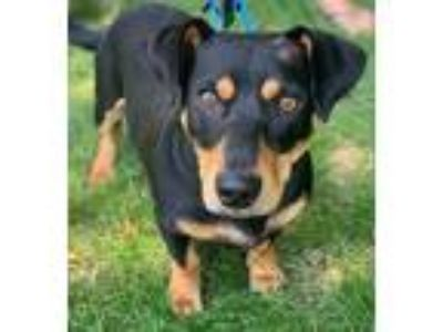 Adopt Hemi a Black Dachshund / Mixed dog in Chester Springs, PA (25628002)