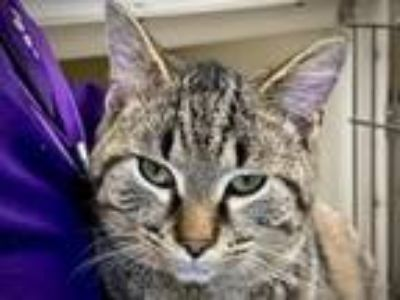 Adopt Buzz a Domestic Short Hair