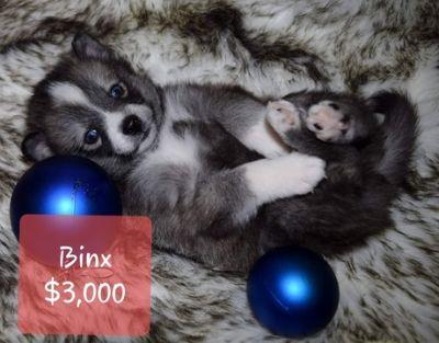 Pomeranian Puppies - Shakopee Classifieds - Claz org