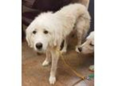 Adopt Lulu(available 6/11) a White Great Pyrenees / Mixed dog in Brownwood