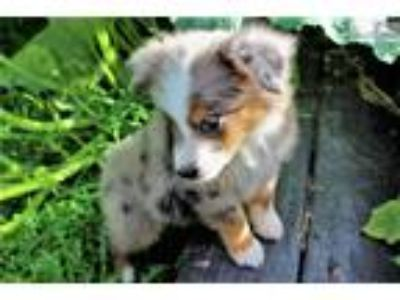 Highly Desirable: AKC Blue-Merle Male: MAX