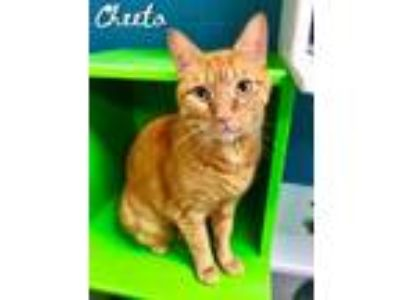 Adopt Cheeto a Orange or Red Domestic Shorthair / Domestic Shorthair / Mixed cat