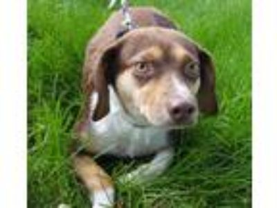Adopt Queen Latifah a White - with Brown or Chocolate Beagle / Mixed dog in