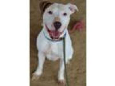 Adopt Chico a White American Pit Bull Terrier / Mixed dog in Philadelphia
