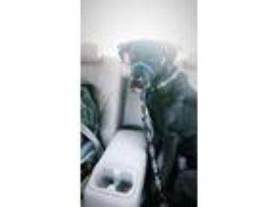 Adopt Bennett a Black Labrador Retriever dog in Fort Worth, TX (24869264)