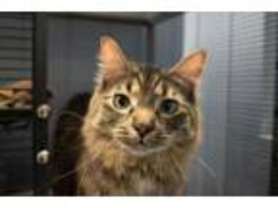 Adopt Ducky a Domestic Long Hair, Maine Coon
